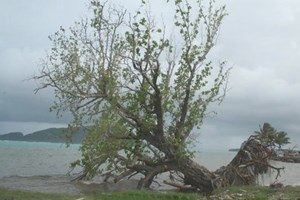 A tree lurches precariously as its roots have been washed away by the tsunami